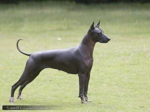 Raseinfo Meksikansk Nakenhund